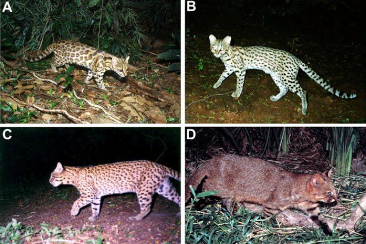 В Бразилии ученые обнаружили неизвестный вид кошек-онцилл.