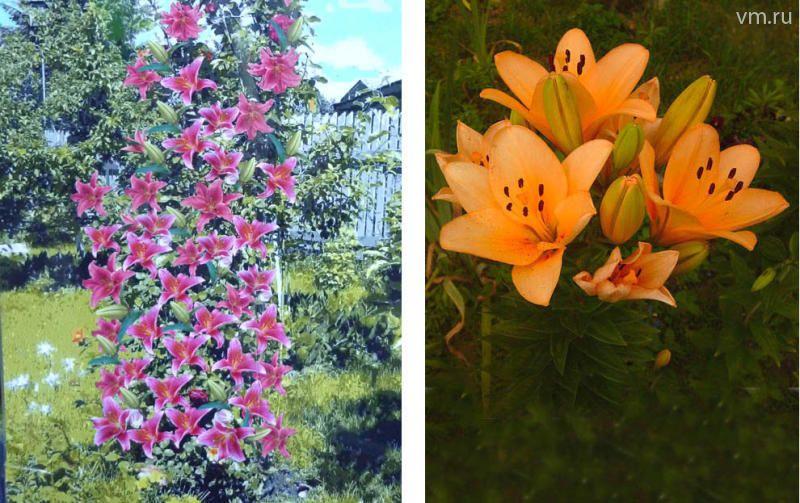 Лилии деревья посадка и уход