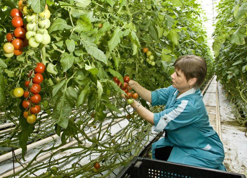 Выращивание овощей на предприятии 148