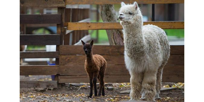 Счастливыми родителями малышки стали альпаки Педро и Дося / Фотография с официального портала мэра Москвы