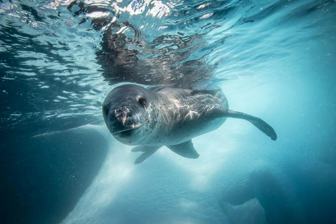 Cнимок морского леопарда из коллекции фотографа Станислава Захарова / Станислав Захаров