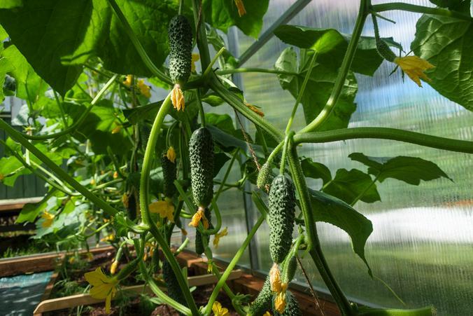 Для получения раннего урожая огурцов можно уже сейчас рассаживать этот овощ в стаканчики / pixabay.com/ru