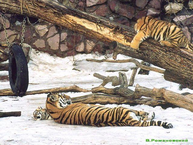 Тигры используют их в качестве игрушек и когтеточек / Сайт московского зоопарка