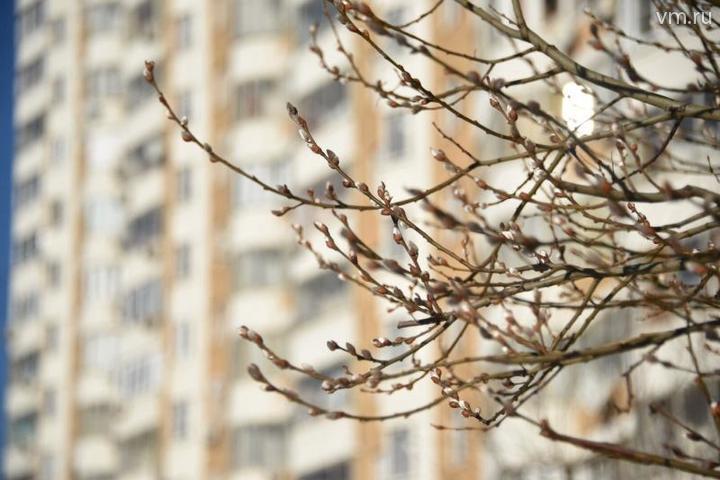 """Верба зацветает первой. Еще голы ветки у всех деревьев, а на ее плотных веточках уже раскрываются белоснежные, иногда с жемчужным или чуть сероватым отливом почки / Антон Гердо, """"Вечерняя Москва"""""""