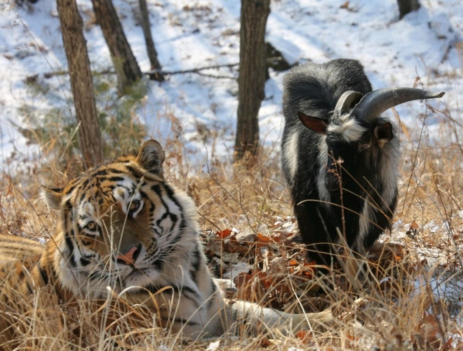 Амур и Тимур неразлучны на прогулке. / Дмитрий Мезенцев, официальный сайт Приморского сафари-парка (safaripark25.ru)