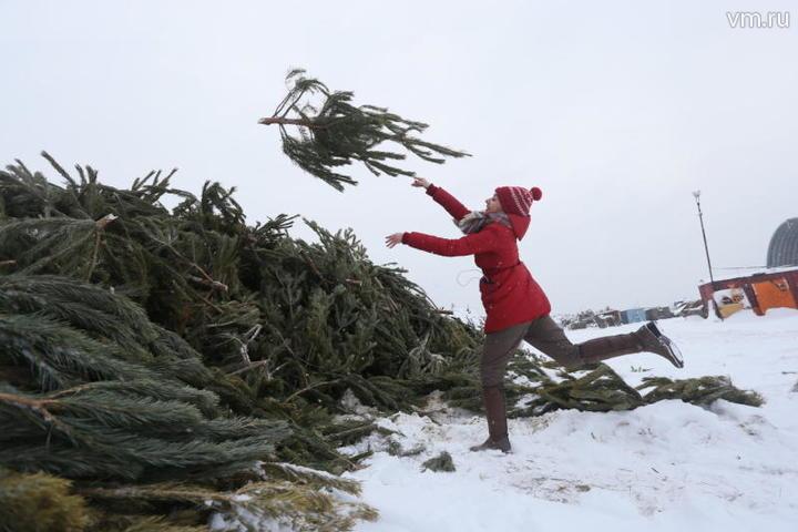 Для утилизации принимаются елки сосны пихты