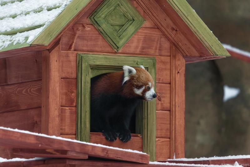 Самец и самка малой панды, проживающие в зоопарке, впервые порезвились в уличном вольере. / соцсети