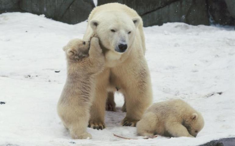 Только те детеныши белых медведей, которые родились в зоопарках, могут быть отправлены по программе размножения и сохранения в зоопарки Европы. / Пресс-служба Московского зоопарка