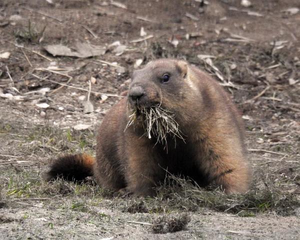 Всего в зоопарке три сурка / Официальный портал мэра и правительства Москвы