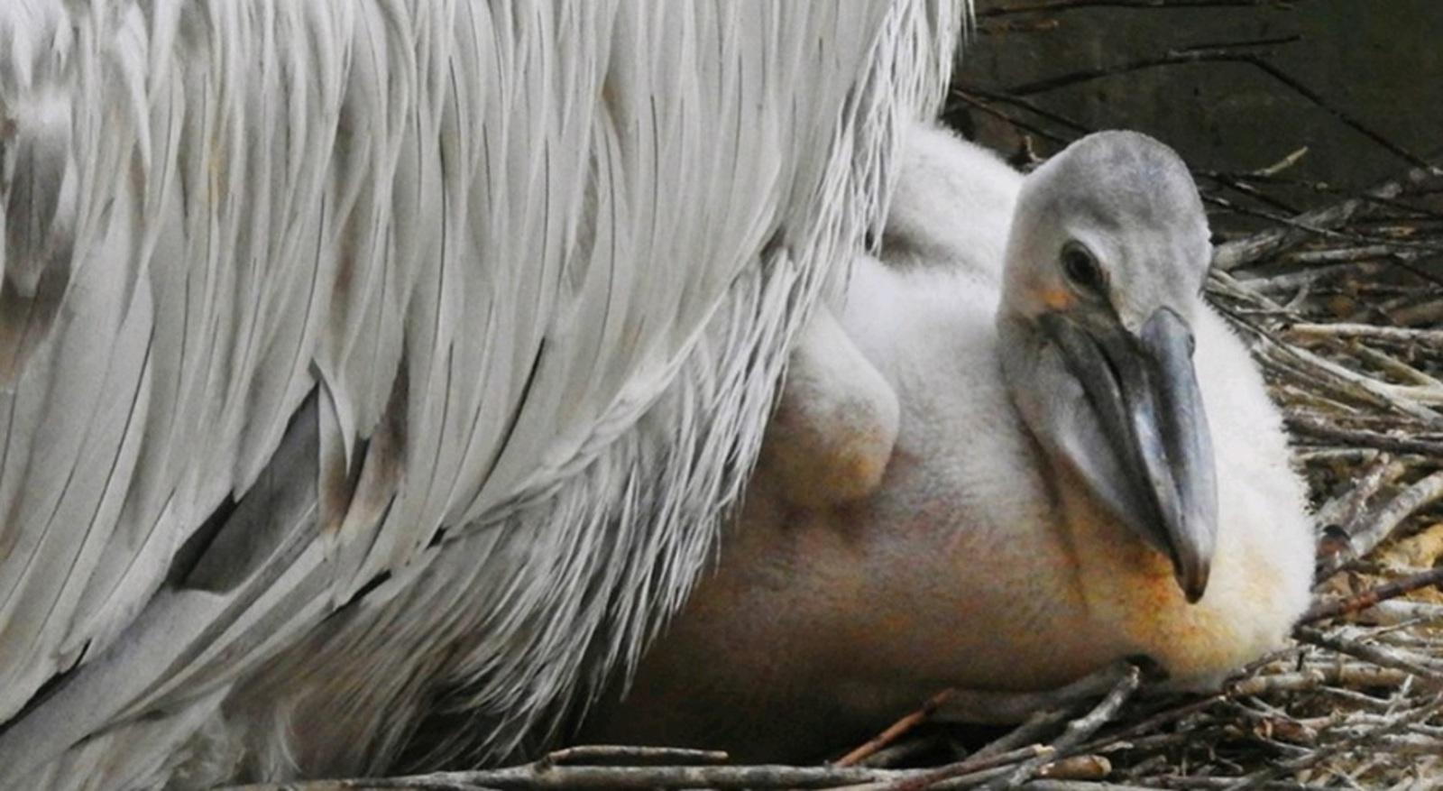 Помимо новорожденных птенцов, содержится всего четыре кудрявых пеликана