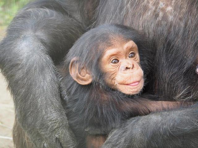 Шимпанзе используют около 60 разных типов жестов / https://pixabay.com/ru/