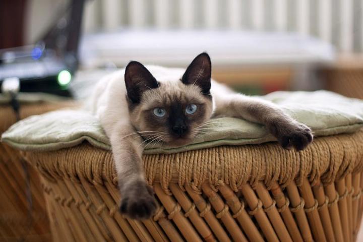 Два кота породы американский колор-пойнт погибли на борту «Аэрофлота» / pixabay.com