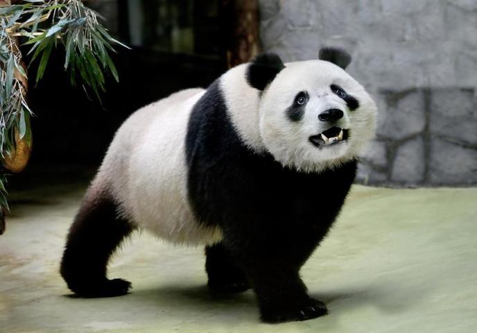 В столицу пандыприбыли в конце апреля спецрейсом из Пекина / предоставлено пресс-службой Московского зоопарка