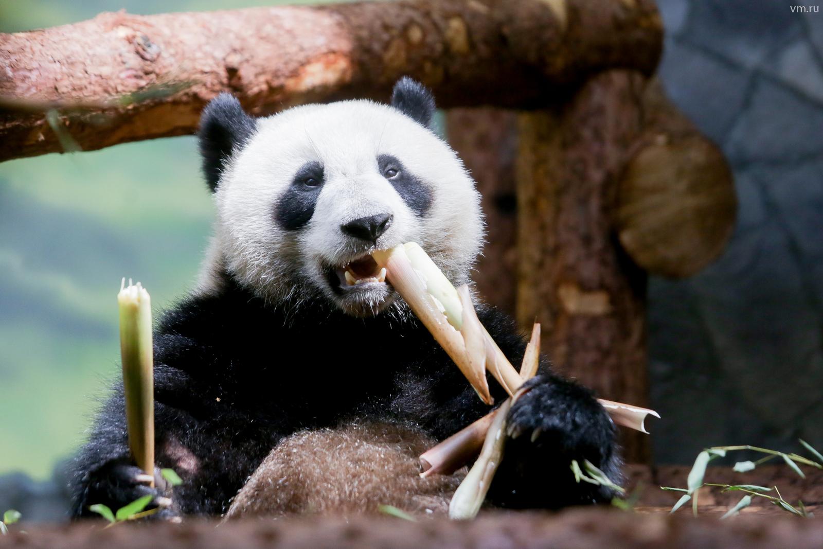 Можно бесконечно смотреть на то, как едят панды, а едят они много / Анна Иванцова, «Вечерняя Москва»