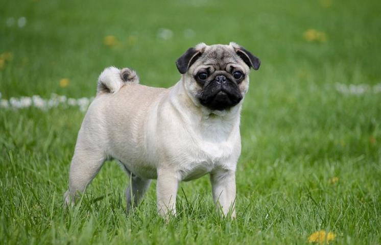 Такие породы собак, как мопсы и бульдоги, не могут охладиться самостоятельно / pixabay.com